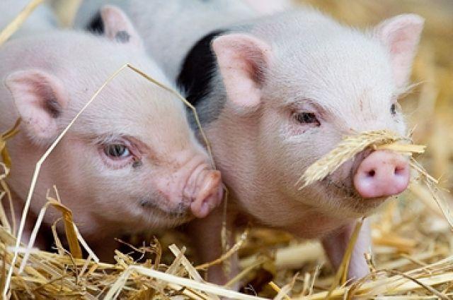 Свиноводческий комплекс появится в Омской области при поддержке Сбербанка.
