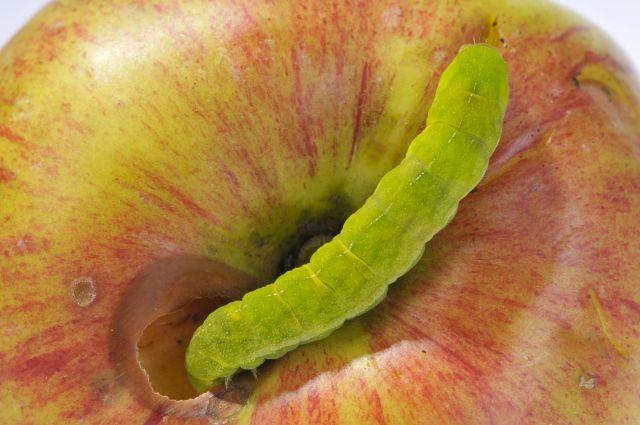 Гусеница и яблоко