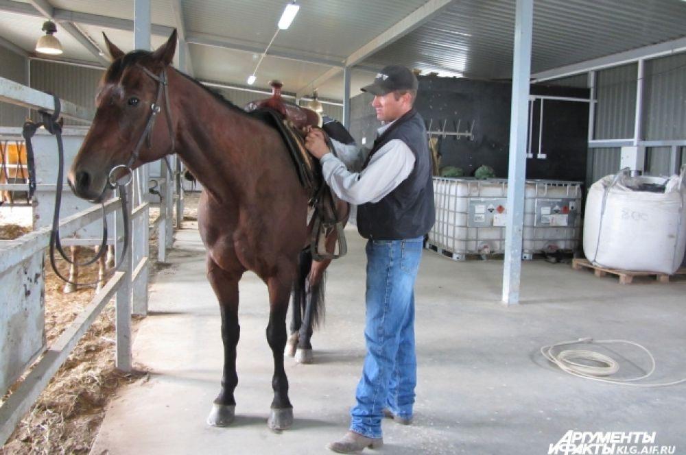 36 лошадей породы, специально выведенной для работы со скотом, также прибыли в регион из Америки.