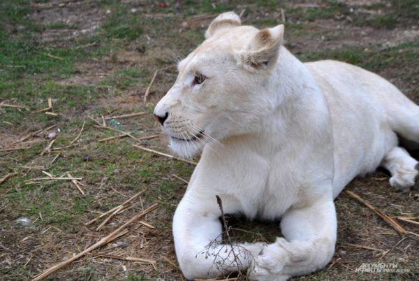 Белая львица Герда приехала в Крым из Южно-Африканской Республики.