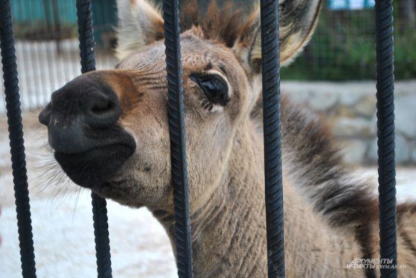 Подрастающая зебра «Россия» очень внимательно относится к каждому посетителю.