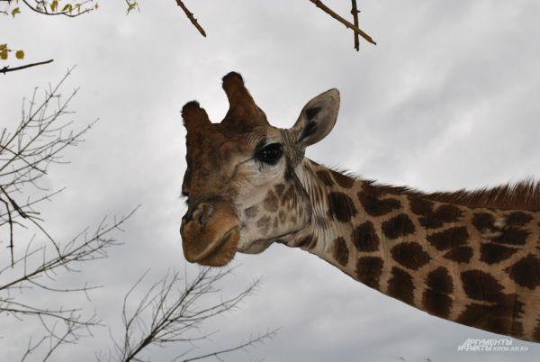 Жираф Красавчик не любит докучливых гостей.