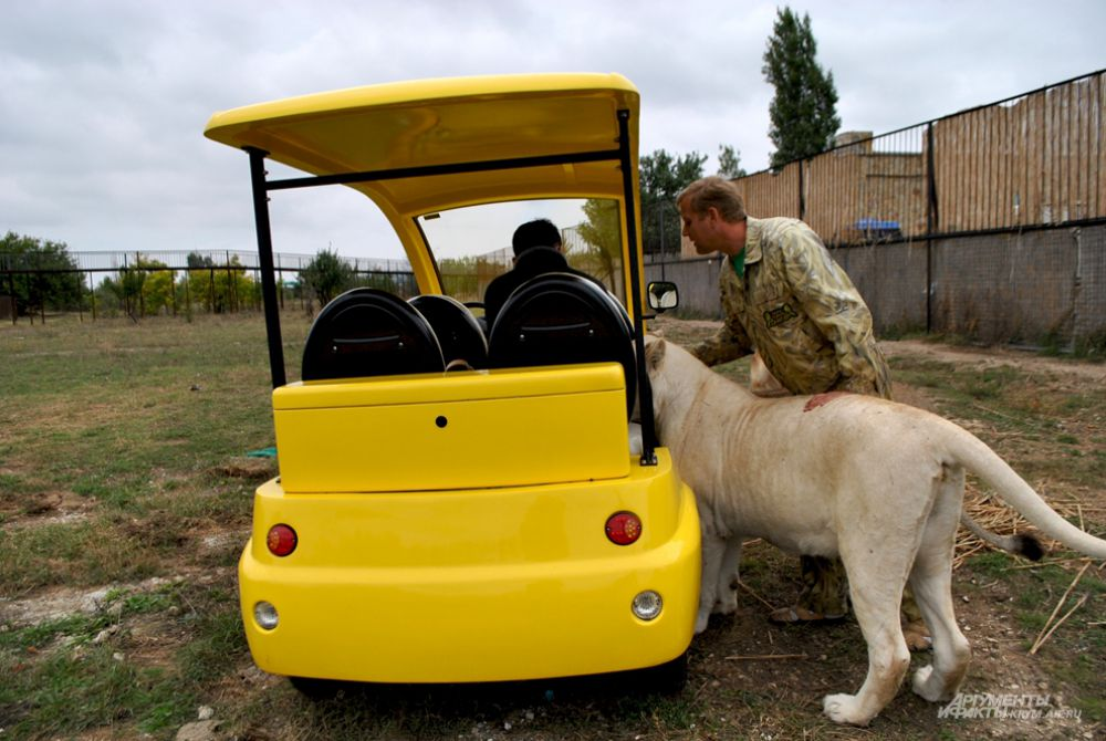 Львица не прочь покататься на электромобиле.