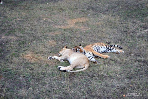 Весьма добрые отношения в «Тайгане» у львов с тиграми, особенно, во время сна.
