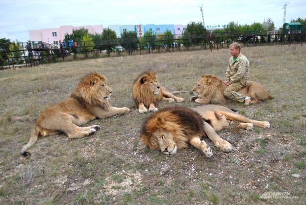 В прайде львы принимают Олега Зубкова за своего.