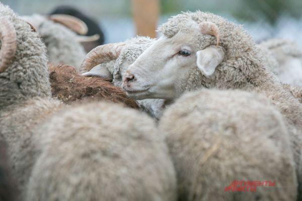 Тысячи баранов будут проданы в Курбан-байрам. В Казани купить барана весом от 40 кг можно за семь тысяч рублей.
