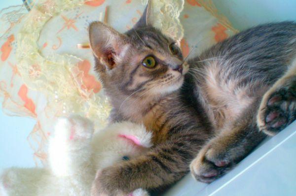 Британскому малышу по имени Винс всего 2 месяца, но он уже приучен к лотку. Очень ласковый, ручной, тихий и покладистый кот. Один из самых нежных мальчиков, каких можно встретить! Куратор Инна. Телефон 8-927-526-49-87.