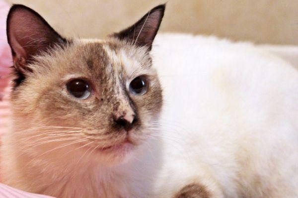 Николь 3 года. Кошечка ласкова, но немного боязлива. Лоточек знает на «отлично». Кастрирована. Куратор Наталья. Телефон 8-917-836-29-47.