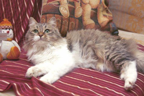 Маргоша – сочетание всех кошачьих качеств. Грациозна, умна, с прекрасным характером и задорным нравом. Очень любит понежиться на ручках. Никто не устоит перед ее обаянием. Куратор Наталья. Телефон 8-917-836-29-47.