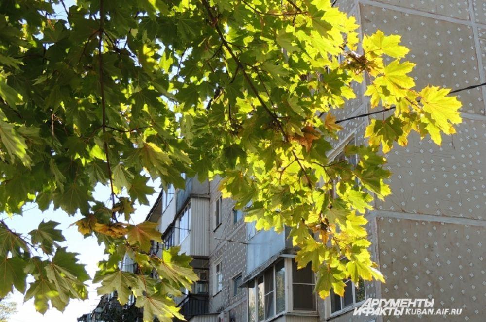 На клене листва еще зеленая.