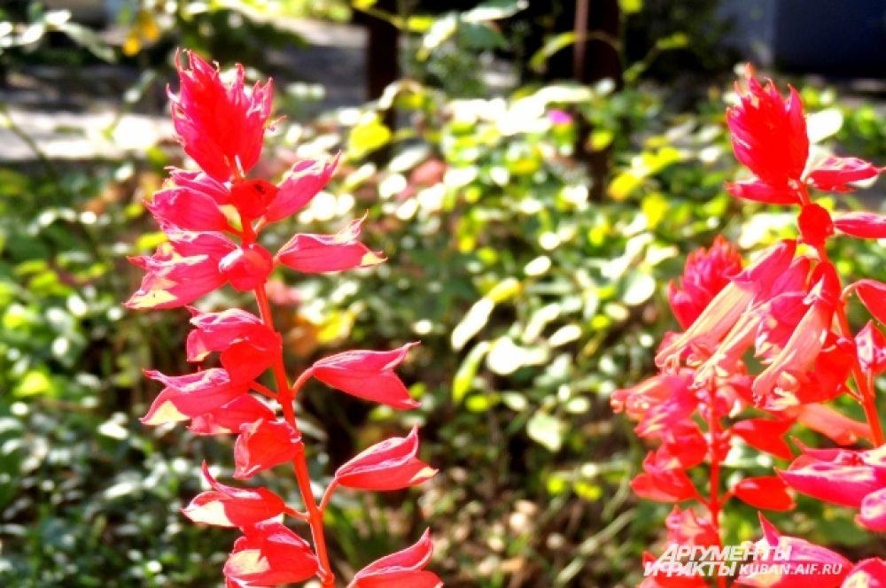 Клумбы у подъездов еще пестрят яркими цветами – сальвиями.