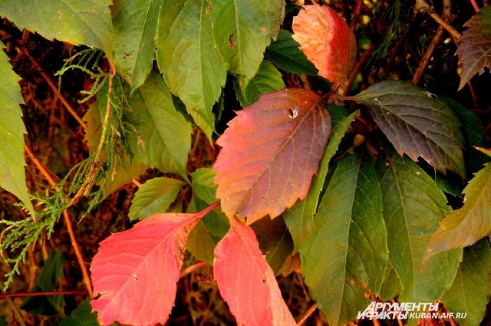 Листья на кустах начали желтеть и розоветь.