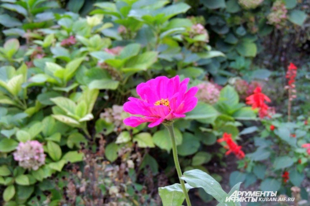 Цветы майоры.