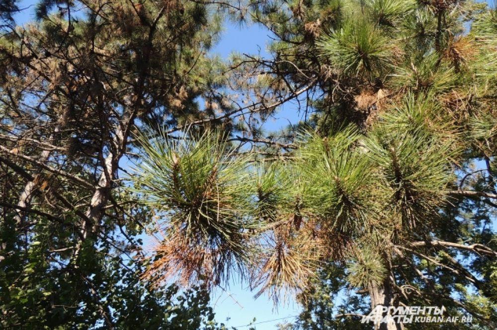 От летней жары пожелтетли иголки вечнозеленой ели.