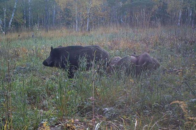 Кабаниха с 11 поросятами попала на видео в национальном парке «Таганай»