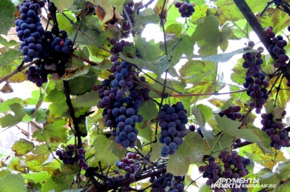 Виноград не боится  низкой температуры.