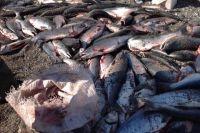 Идущую на нерест рыбу добывают хищническим способом.