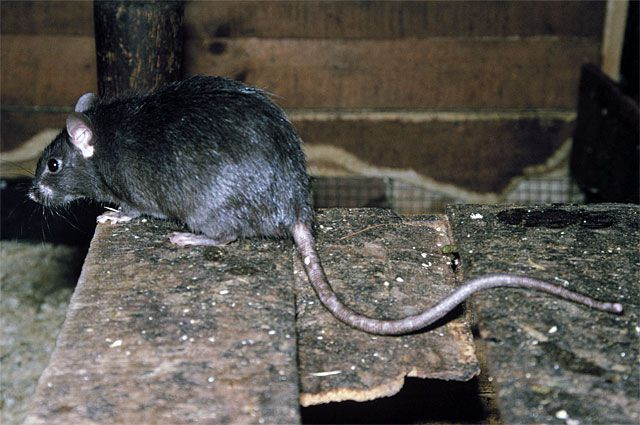 Зубы у крыс растут всю жизнь...