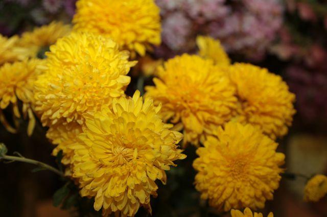 Хризантема 'Золотая осень'.