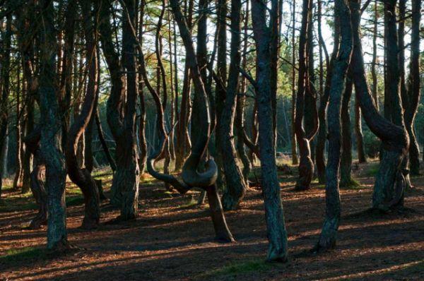 Танцующий лес - уникальное место. Почти все его сосны причудливым образом изогнуты, разветвлены или даже скручены в кольцо. Причем никаких других деревьев в этом участке леса нет.