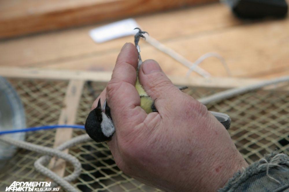 Станция «Фрингилла» функционирует не круглогодично, а сезонно. Осенью и весной над национальным заповедником «Куршская коса» пролетают тысячи птиц. В эти времена года работники станции расставляют огромные сети для ловли пернатых, регистрации и кольцевания.