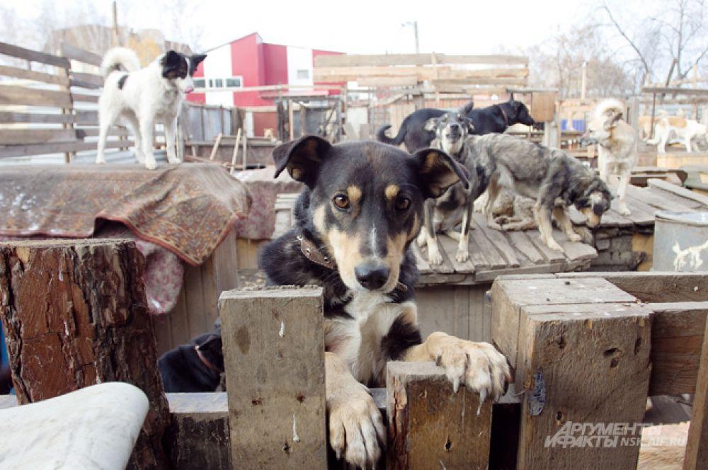 Несмотря на жёсткие условия, собаки остаются радостными весельчаками.