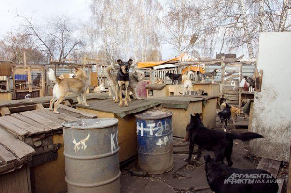 Ящики, на которых стоят собаки - это их будки, наскоро построенные после августовского пожара. Хотя зимой в них будет несладко, Галина Смирнова уверена: главное, чтобы было чем кормить друзей человека. Остальные тягости они вынесут.