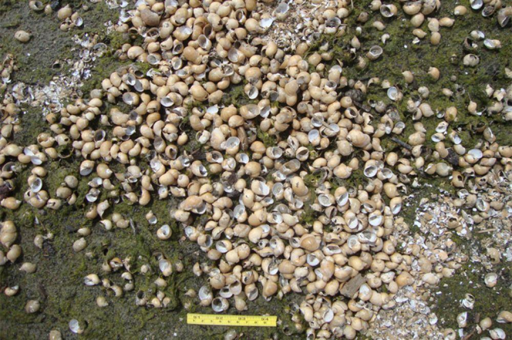 По мнениюученых, водоросль стала причиной массовой гибели моллюсков.