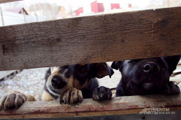 Этим собакам повезло: о них заботится человек с большим сердцем. Но сил одного человека на такое количество четвероногих - недостаточно.
