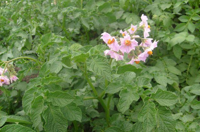 Микроскопические червячки золотистой нематоды живут в корнях картофеля и других паслёновых культур.