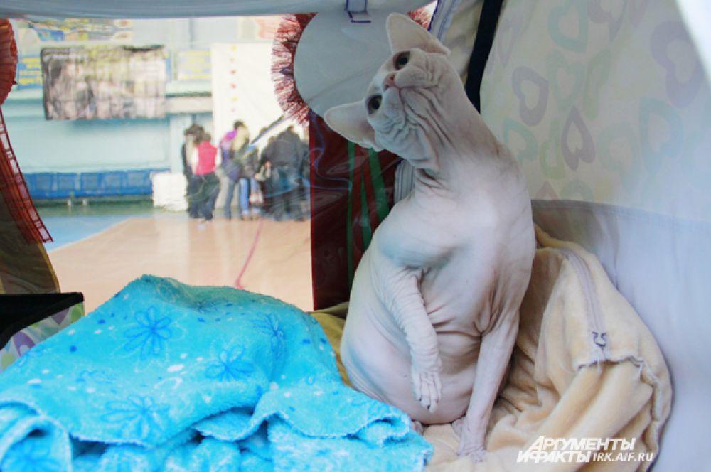Изящество этой кошки подчеркивает красоту породы.