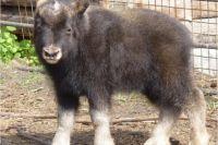 Овцебыка теперь будут звать Гаврюшей.