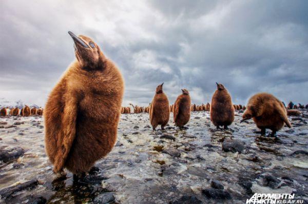 «Да мы тут мимо проходили...». Автор Дмитрий Моисеенко: «Когда птенцы королевских пингвинов немного привыкли ко мне, от «детского сада» отделилась группка самых любознательных товарищей. Вперёд вышел предводитель, остальные остались на подстраховке».