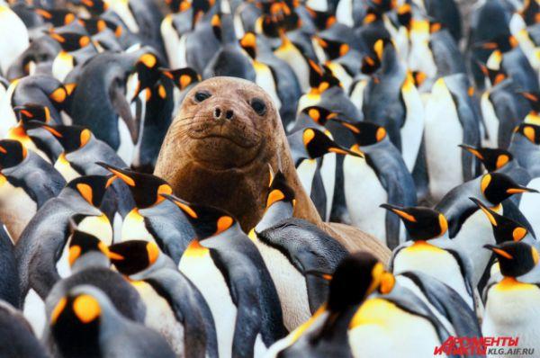 «Молодой морской слон среди пингвинов». Автор снимка Гюнтер Рихли: « Я сел неподалёку от колонии королевских пингвинов (самые любопытные и смелые подходили знакомиться ) и просто наслаждался пейзажем. Вдруг я понял, что среди пингвинов лежит… морской слон. Услышав щелчки затвора фотоаппарата, он поднял голову. Из пяти фото только на одном он смотрит прямо в камеру»
