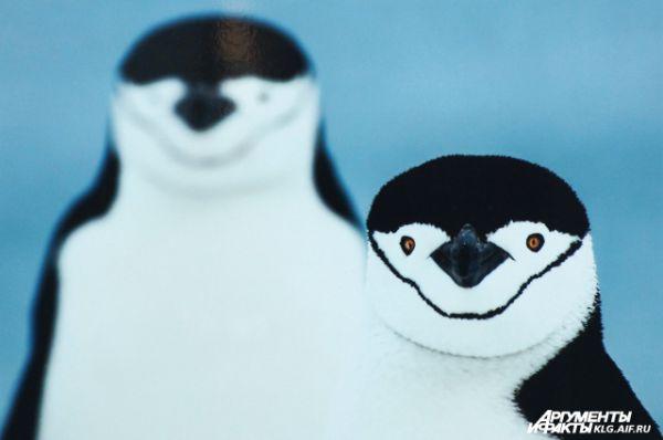 «Два антарктических пингвина». Автор Гюнтер Рихли: «Остров Полумесяца, Антарктика. Здесь живёт огромное количество пингвинов. На мой взгляд, антарктические – одни из самых фотогеничных пингвинов».