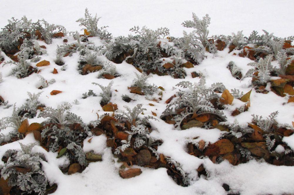 На клумбах из-под снега видны декоративные растения