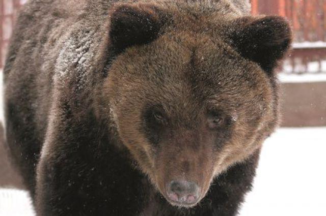 Медведи в зоопарке Екатеринбурга активно готовятся к спячке