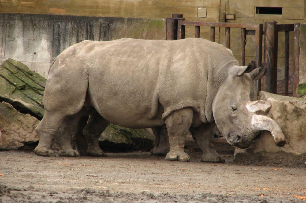 В мире осталось всего три особи северных белых носорогов . Последние представители вида, один самец и две самки, живут в экваториальном природном заповеднике «Ол Педжета» в Кении.