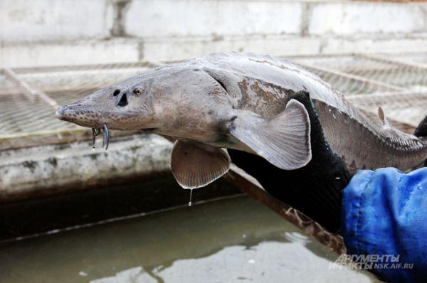 Вот таких полуторакилограммовых рыб в реку отпустили больше 3 тысяч.