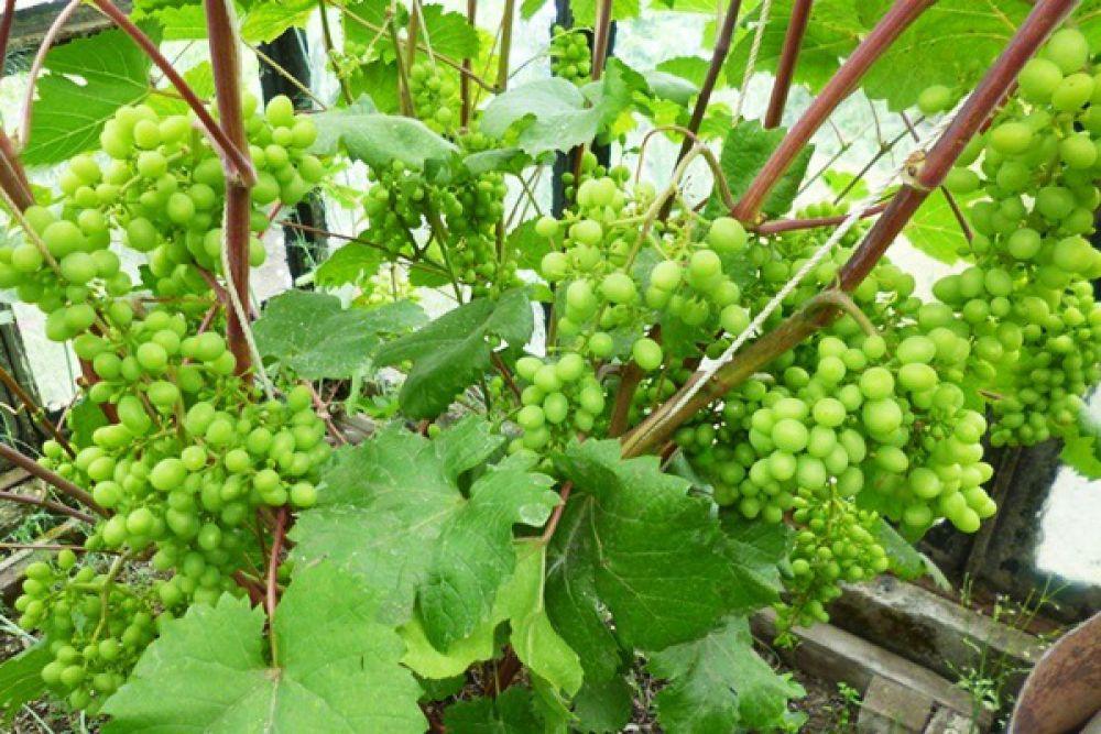 Камчатский виноград.