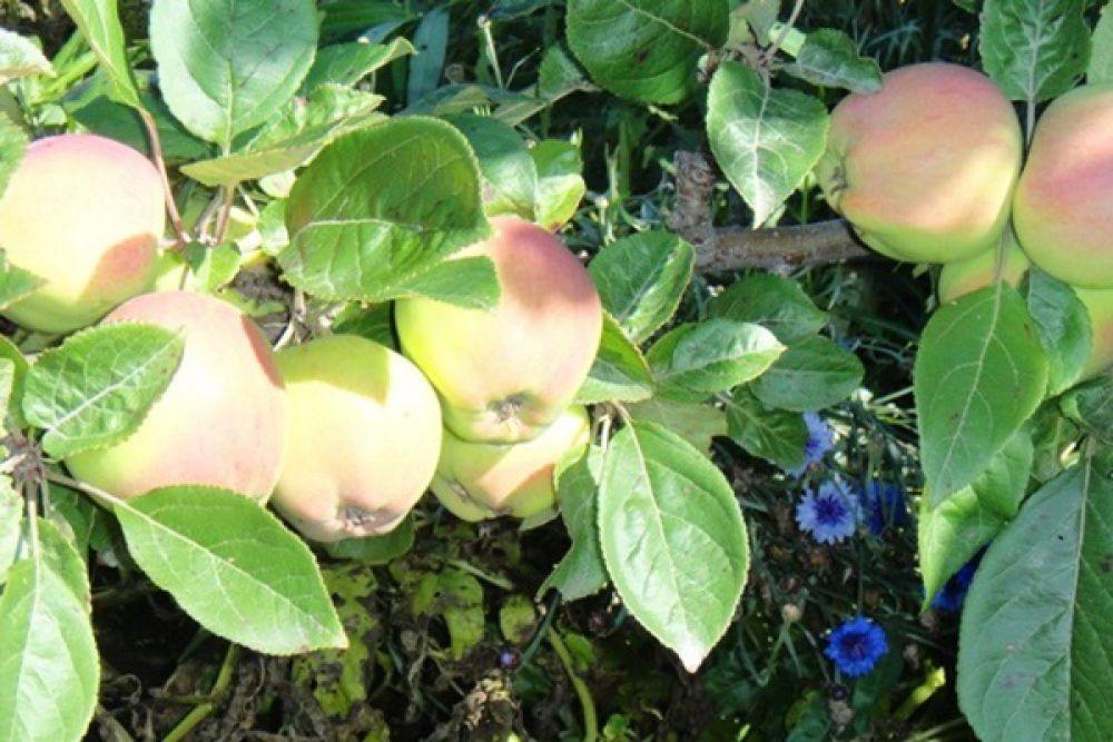 И яблоки!