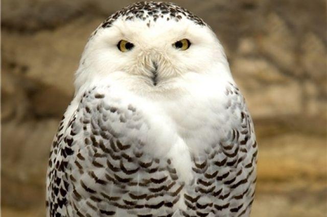 В Омск прилетела полярная сова.