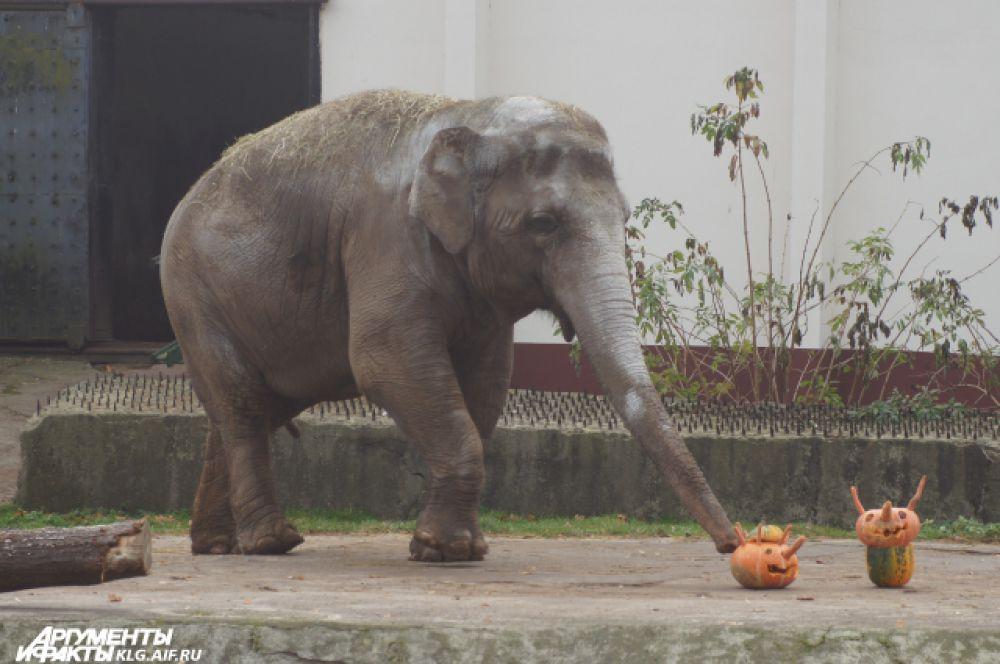 Старожила зоопарка слониху Преголю долго уговаривать отведать лакомство не пришлось.