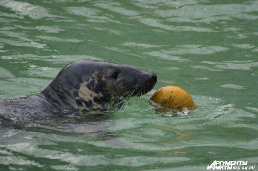 Тюлени тыквы есть не стали, зато с удовольствием играли с ними.