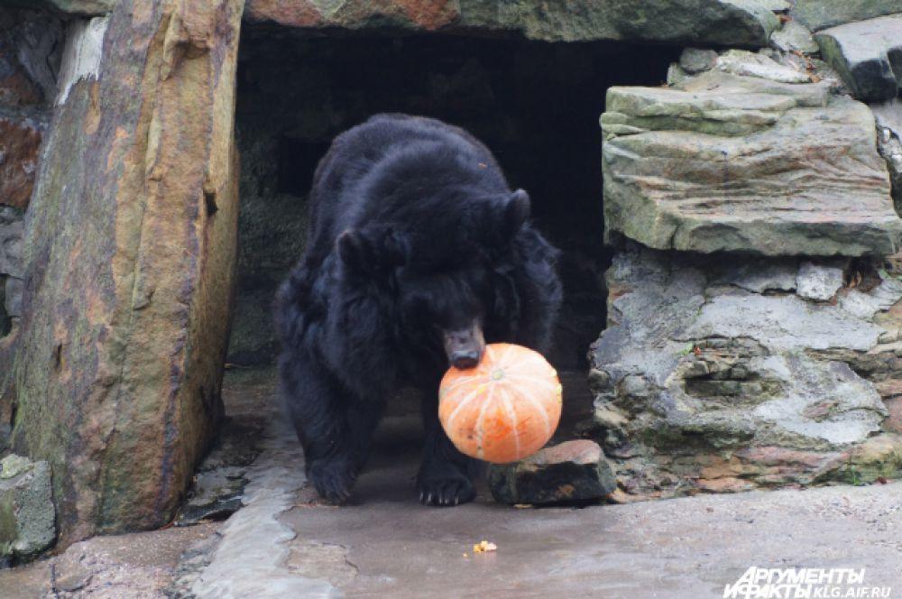 А вот гималайский медведь прилюдно трапезничать не захотел и потащил добычу к себе в берлогу.