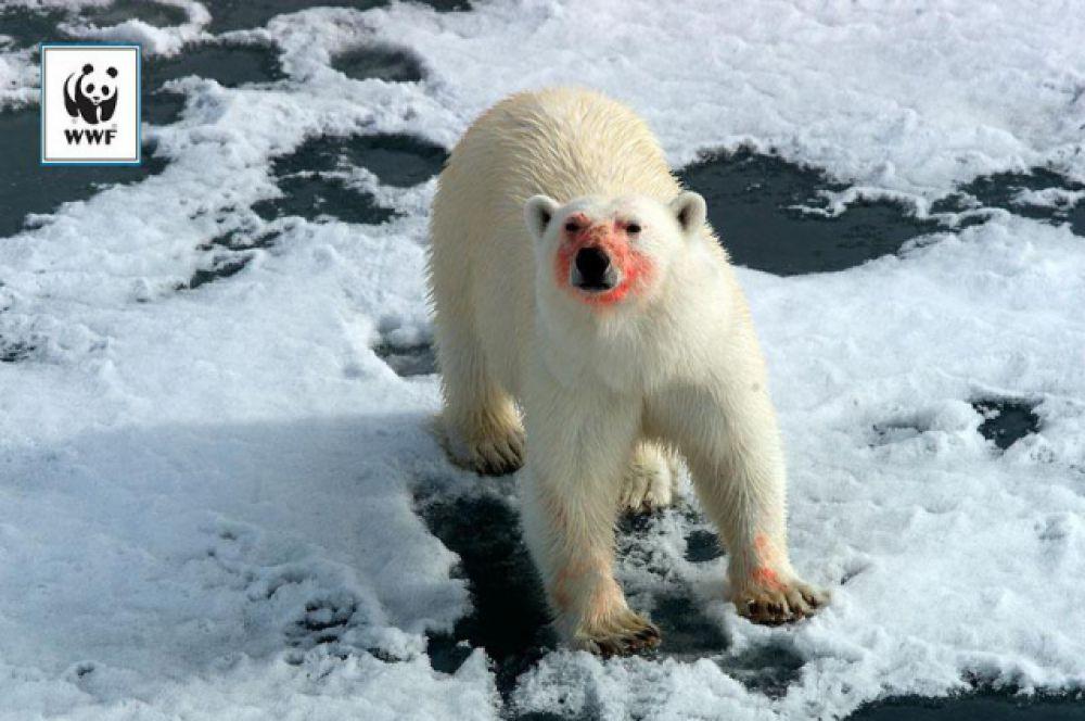Белый медведь. Самый крупный наземный хищник планеты. Его длина достигает 3 метров, а вес – 1 тонны! Хотите верьте, хотите нет, но кожа у белого медведя черная! Белая окраска только у шерсти. Это очень опасный хищник. Когда ни о чем не подозревающее морское животное высунет голову из моря, медведь оглушает его лапой и вытаскивает на льдину. Этот хищник может напасть и на суше. Люди медведю малоинтересны, но из-за изменения климата этим животным приходится все чаще вылезать на сушу в поисках пропитания и они начинают заходить в поселки.
