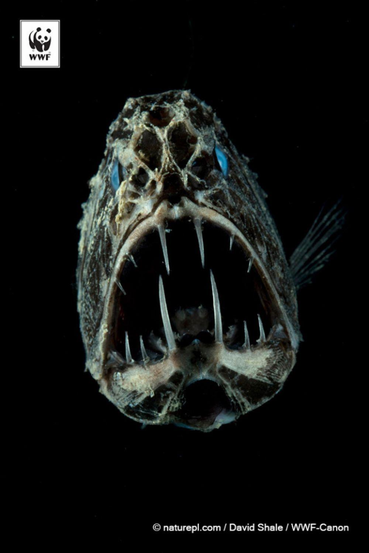 Длиннорогий саблезуб. Угольно-черная шершавая кожа и гигантская голова со множеством клыков. Некоторые считают эту хищную рыбу самым страшным животным мира.