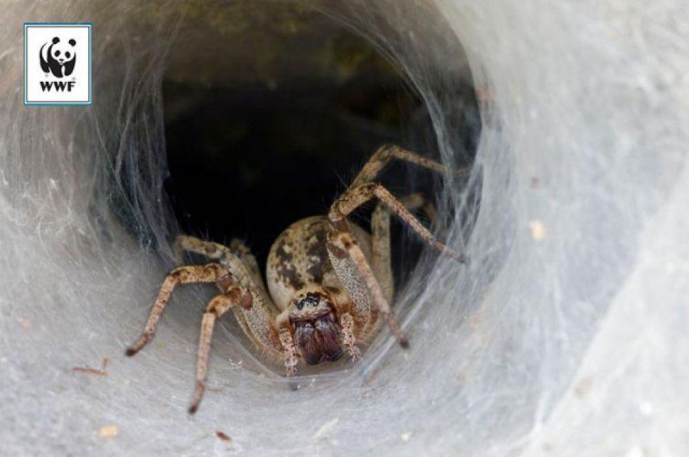 Лабиринтовый паук. Этот паук плетет плоскую сеть, похожую на тарелку, которая соединена с коридором из паутины. В этом туннеле он прячется, поджидая жертву. Прямо как в сюжетах сотен приключенческих фильмов, где героя в подземном лабиринте ждет неожиданная встреча с членистоногим. Кстати, лабиринтовый паук обитает в Европе, в том числе в России.