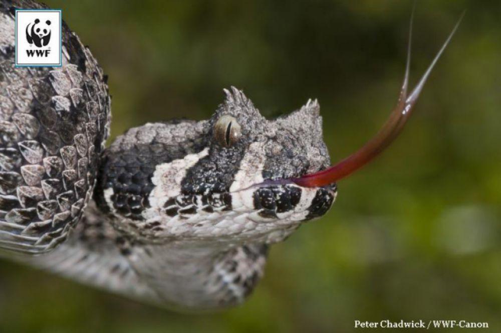 Южноафриканская горная гадюка. Про эту змею даже нет статьи в Википедии – ни на английском, ни на русском. Настолько она малочисленная. Есть всего две маленькие популяции в Южной Африке. Как и многих других африканских гадюк, эту змею отличают выросты на голове, похожие на рога. В ее виде есть что-то дьявольское!