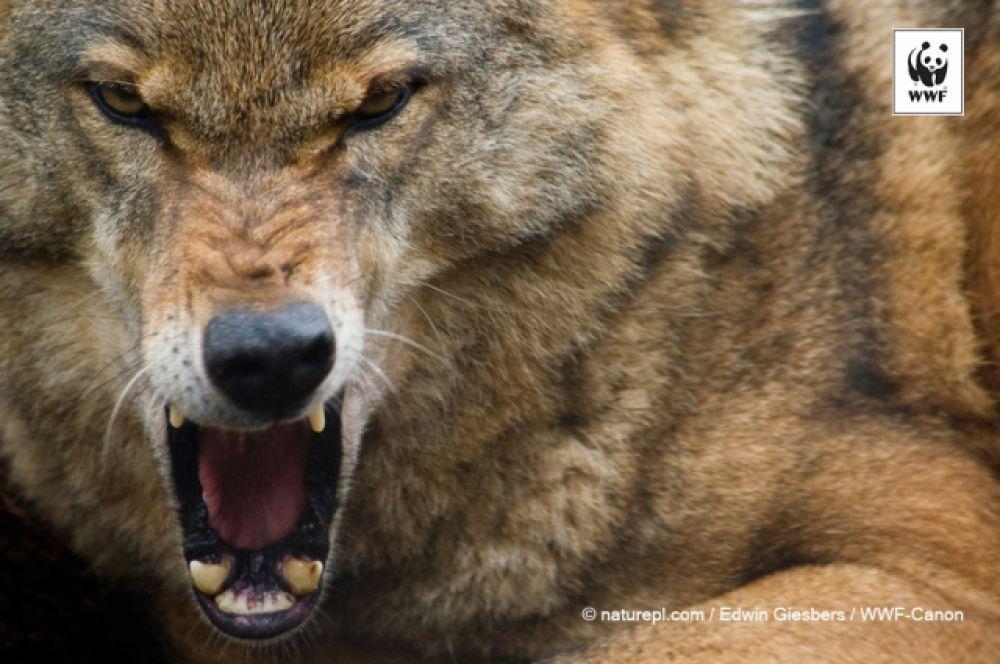 Волк. Во время погони волк может достигать скорости 65 километров в час (18 метров в секунду). У волка сильные челюсти с острыми клыками и так называемыми плотоядными зубами, которыми он разрывает и жует мясо. Челюсти волка настолько мощные, что он может разломить бедро лося за 6-8 укусов. Водятся в Волгоградской области.